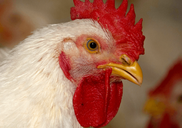Ministry bans all live chicken importation