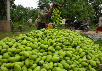 Container shortage, rising shipping costs takes bite out of mango exports