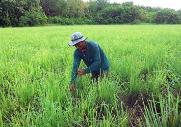 Sweet smell of profit; lemongrass oil provides a new business venture for Kampot farmers