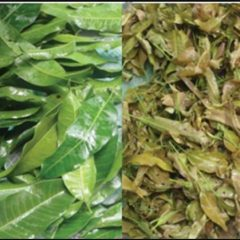 Leaves of mature (left) and young (right) carabao mango. (Photo from the Philippine Journal of Science/DOST-STII)