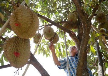 Gov't lends a hand for local durian cultivation