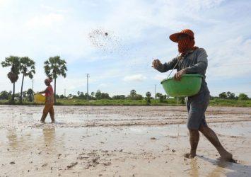 Heavier rains raising big hopes for bumper early-season rice crop